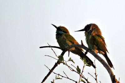 Little Green Bee-eaters