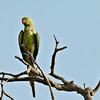 Rose-ringed Parakeet - female