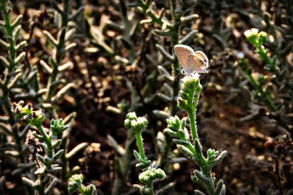 Desert Babul Blue