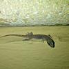 Persian Leaf-toed Gecko - juvenile