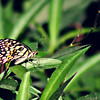 Lime Swallowtail Butterfly