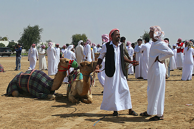 Preparing for Camel Races
