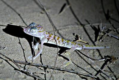 Dune Sand Gecko