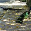Feral Peacocks