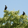 House Crows on Neem