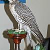 Stuffed Saker Falcon