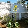 Century Plant in flower