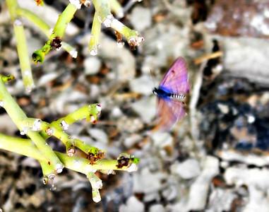 Mediterranean Pierrot - female in flight