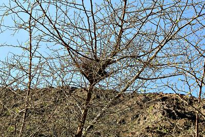 Sidra tree with bird's nest