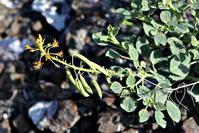 Cleome rupicola; Family: Capparaceae Wadi Hayl, Fujairah, UAE