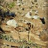 Desert Agaves