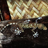 Fan-toed Gecko