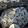 Conglomerate rock with barnacles and seashells