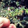 Fagonia bruguieri; Family: Zygophyllaceae<br /> Wadi Hayl, Fujairah, UAE