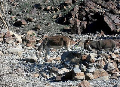 Feral donkeys (Equus africanus) - Wadi Helo, UAE, 8/12/2012, 5 p.m.