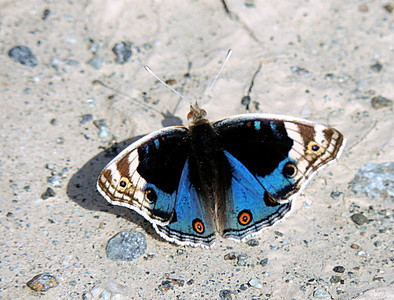 Blue Pansy Butterfly - male