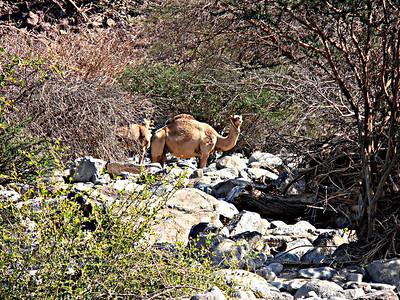 Free-range camels (Camelus dromedarius) - Wadi Helo, UAE; 08/12/2012, 5 p.m.