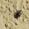Green Bottle Blowfly