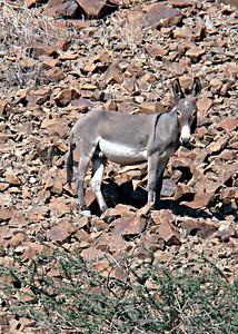Feral donkey (Equus africanus), male - Wadi Helo, UAE, 8/12/2012, 4 p.m.