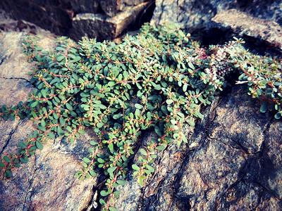 Euphorbia granulata