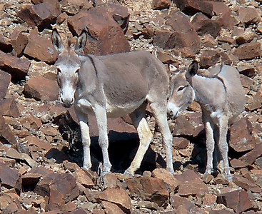 Feral donkey (Equus africanus), male, female and adolescent foal - Wadi Helo, UAE, 8/12/2012, 4 p.m.