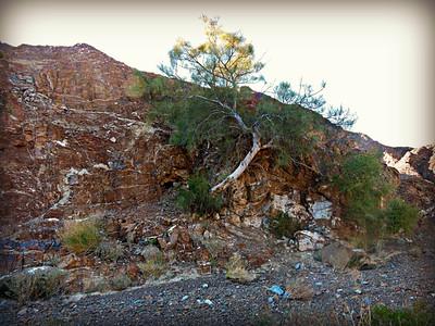Wild Drumstick Tree