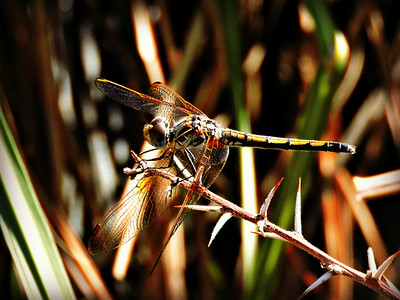 Gully Darter Dragonfly (female)