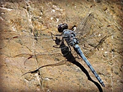 Desert Skimmer Dragonfly