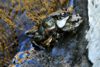 Arabian Toads Mating