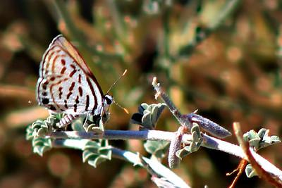 Mediterranean Pierrot Butterfly