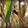 Red-veined Darter Dragonfly - female