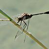 Green Marshhawk/Slender Skimmer Dragonfly