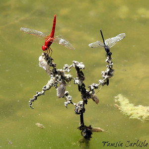 Red and Black Dragonflies