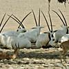 Arabian Oryx and Mountain Gazelle