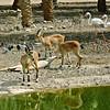 Ibex, Gazelle and Flamingos