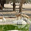 Nubian Ibex and Mountain Gazelle