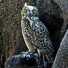 Pharaoh Eagle-owl