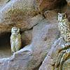 Pharaoh/Desert Eagle-owls