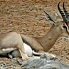Mountain Gazelle - buck