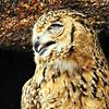 Sleepy Pharaoh/Desert Eagle--owl