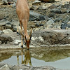 Mountain Gazelle drinking