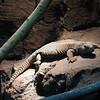 Leptien's Spiny-tailed Lizard/Egyptian Mastigure/Dhub