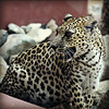 Arabian Leopard