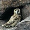 Pharaoh/Desert Eagle-owl