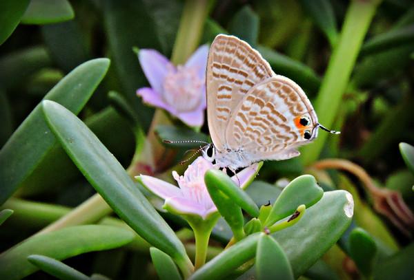 Long-tailed/Pea Blue