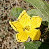 Sponge-gourd flower with wasp