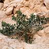Caper Plant on Limestone