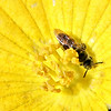 Wasp on sponge-gourd flower