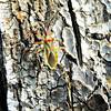 Harlequin Bug on Ghaf