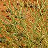 Dipterigium glaucum